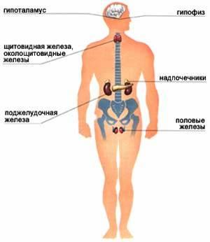 желез внутренней секреции, локализованных в центральной нервной системе, различных органах и тканях...